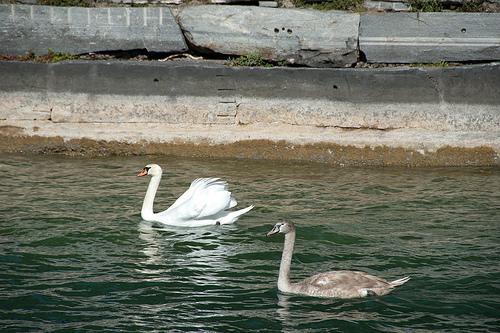 На озере можно покормить срук диких лебедей