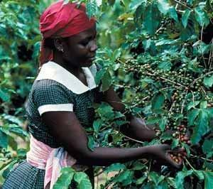 Кения кофе