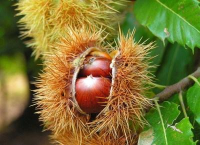 Созревшие плоды каштана