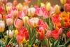 Messer Tulipano: 75 тысяч цветов в Кастелло Пралормо