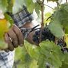 VinNatur Genova: 300 вин (без химикатов), готовых к дегустации