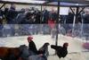 Праздник Сан-Антонио: сотни животных перед Базиликой Сан-Пьетро в ожидании благо