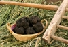 В провинции Рима начинается фестиваль черного трюфеля