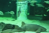 Необычные презепе под водой появились в аквариуме Каттолики
