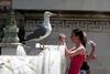 Настоящее пасхальное яйцо высиживают две чайки на стенах монумента «Витториано»
