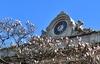 Весна в Милане: шоу цветущих магнолий напротив Дуомо