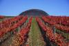 Завершен сбор урожая винограда с первых био-виноградников в Италии