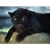 В лесах Тосканы замечена дикая пантера, которую пытаются поймать