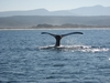 У берегов Сардинии можно искупаться вместе с китами