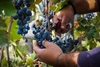 Сбор урожая винограда начинается в Пьемонте в конце августа: «Для Эрбалуче, Гави