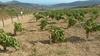 """Остров Пантеллерия: процедура культивации винограда сорта """"Дзибиббо"""" становится"""