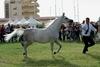 В Сан-Вито Ло Капо пройдет парад чистокровных арабских скакунов