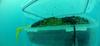 В Лигурии базилик выращивают на морском дне