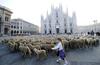 Нашествие овец на Пьяцца дель Дуомо в Милане