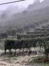 Плохая погода в Пьемонте затронула виноградники Бароло