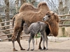 В биопарке Рима родился верблюжонок