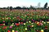 Близ Милана вскоре вновь расцветет поле тюльпанов