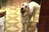 В Лигурии собаку наградили за отвагу на пожаре