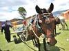 Итальянские фермеры возвращаются к лошадям