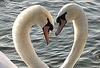 Лебединый День Святого Валентина на вилле Маргарита