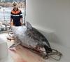 В провинции Генуи выловили особь голубого тунца весом 250 кг