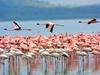 Венецианские птенцы фламинго готовы встать на крыло