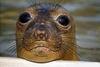 Тюлень-монах возвращается в воды Италии