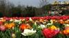 В Риме открылся TuliPark, великолепный парк голландских тюльпанов