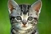 На Капри идет охота за «серийным убийцей», который отравил 32 кошек и десятки ча