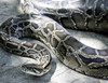 Все чаще итальянцы стали заводить у себя дома экзотических животных