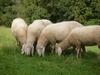 Итальянская фабрика «приняла на работу» 1200 овец