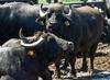 В провинции Казерта найдено кладбище буйволов