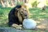 В зоопарке Рима хищников кормят мясным мороженым