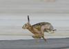 В Милане испуг и паника среди пассажиров самолета, который сбил зайца