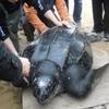 На одном из пляжей Сицилии обнаружен редкий вид гигантской морской черепахи, кот