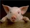 Кассационный суд в Италии вынес приговор, запрещающий обзывать соседа «свиньей»
