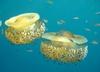 В Адриатическом море наблюдается нашествие медуз Кассиопея