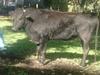 Итальянским коровам будут делать массаж