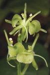 В Порденоне найден редкий вид орхидеи