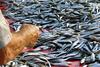 Запрет на ловлю рыбы в Адриатическом море