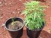 Кассационный суд Италии принял решение, по которому разрешается выращивание мари