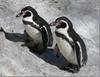 На пляже в Эмилии-Романье появятся пингвины
