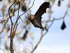 В Милане будут бороться с комарами с помощью летучих мышей