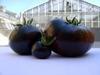 Черный помидор из Лигурии имеет родственника в Крыму