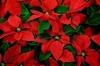 Будьте внимательны: листьями Рождественской звезды закусывать опасно!