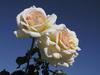 Новый сорт розы назван именем Мелиссы Басси