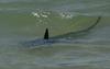 Акулы в Италии: все ближе и ближе к берегу