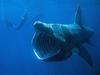 В море у берегов Сардинии появилась гигантская акула