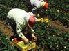 В Италии распределены квоты для сезонных работников-иммигрантов