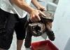 В окрестностях Милана найдена черепаха-аллигатор